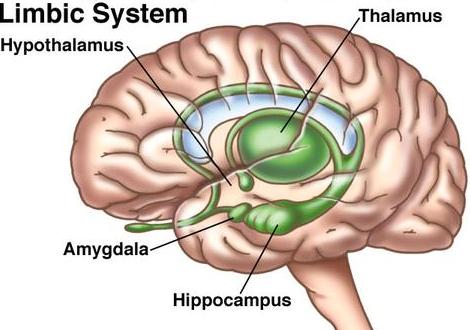 limbic